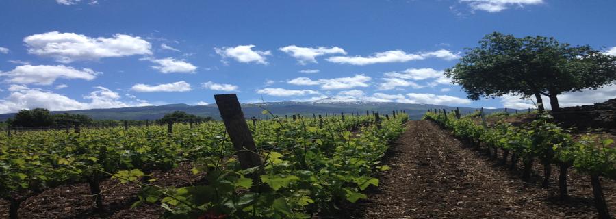 Mount Etna Vineyard - Sicily Wine Tour